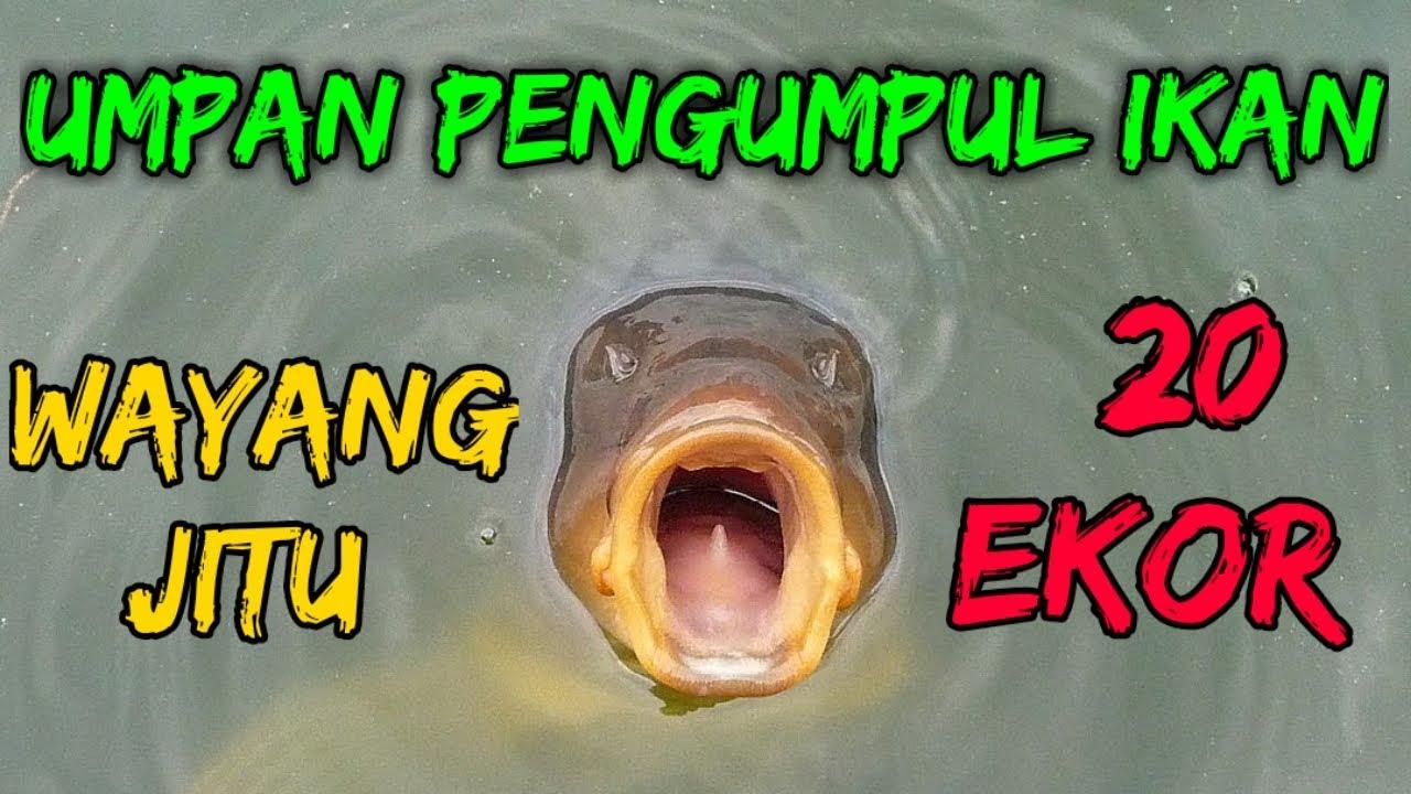 Racikan Umpan Ikan Mas Pelet Sinta Dan Wayang Jitu Youtube