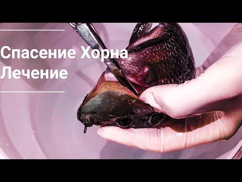 Опасность для рыб в аквариумах. Операция по спасению Флавер хорна.