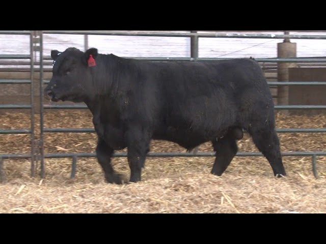 Schiefelbein Angus Farms Lot 365
