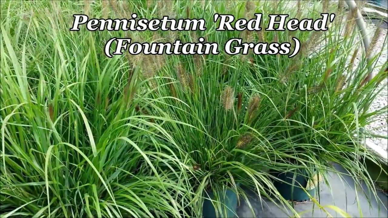 best ornamental grasses pennisetum red head fountain