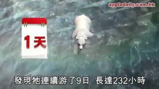 蘋果日報 - 20110127 - 北極熊媽媽游9日9夜 熊BB慘死