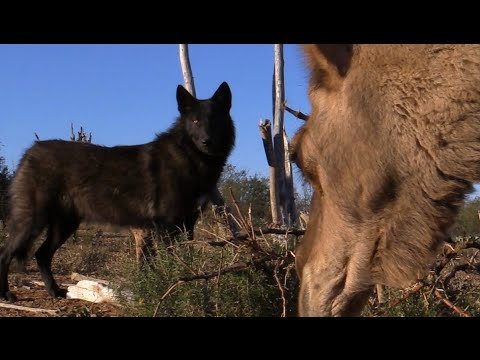 What Do Wolves Think of Camels? (Wolf meets 2 curious camels)