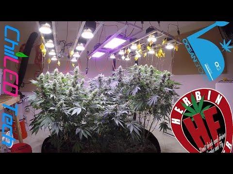 High Quality Organic Cannabis Cycle 3 No Till 14