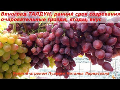 Виноград ТАЛДУН - с красивыми ягодами, крупными гроздями, раннего срока созревания (Пузенко Наталья)