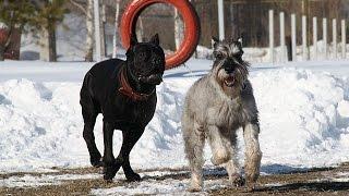 Собаки породы Миттельшнауцер!