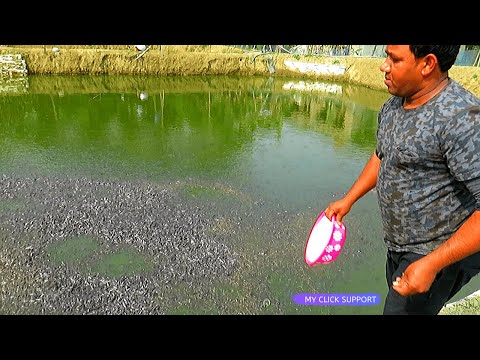 Beautiful! Fish Farming Production | Million Catfish Eating Floating FishFeed in Pond