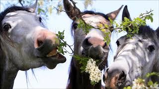 Три белых коня (English version)