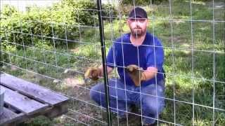 Chickens in the coop and completing the chicken run fencing