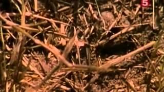 хищные муравьи