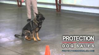 Home Protection Dogs With Mental Stability And Turn Key Obedience