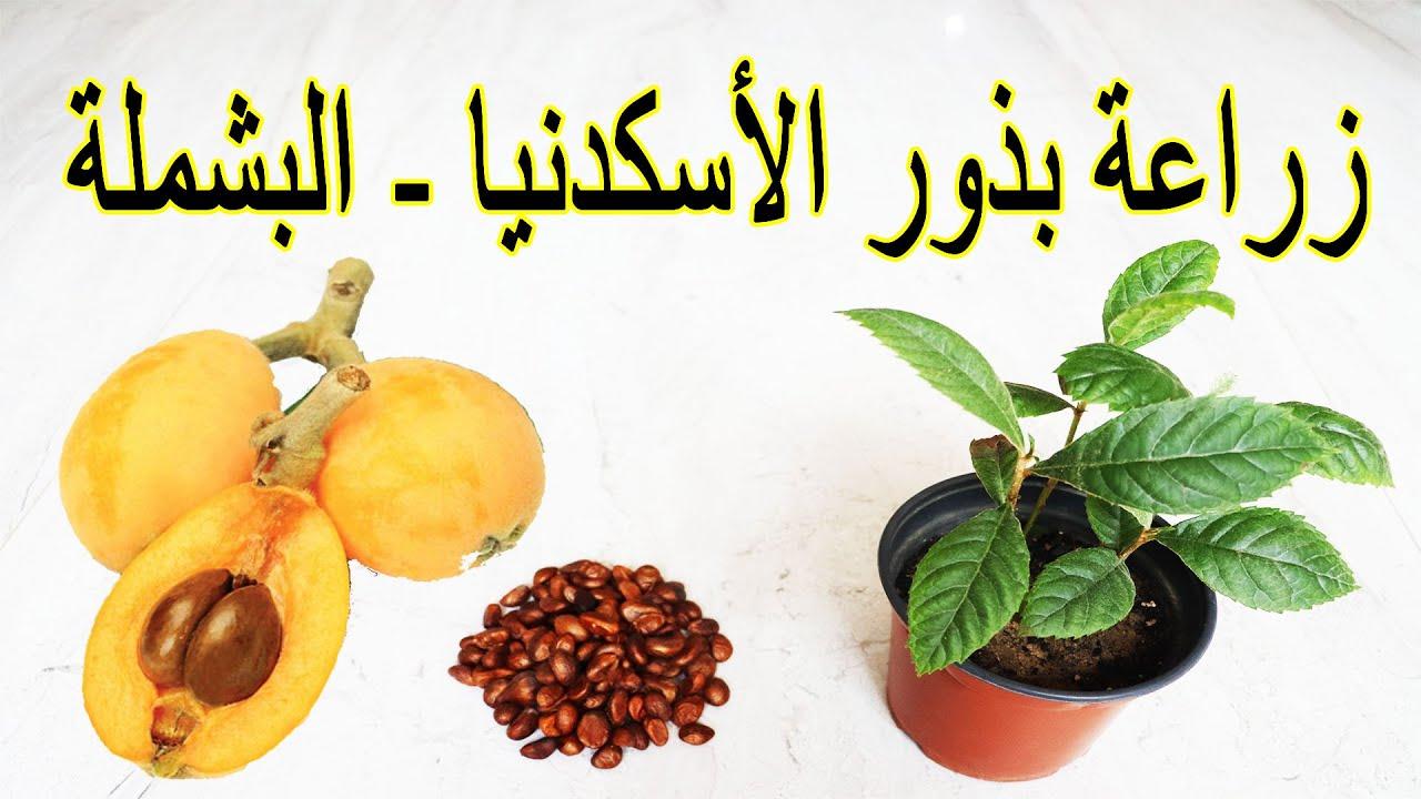 زراعة بذور الاسكدنيا (البشملة) الموجودة داخل الثمرة