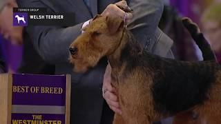 Welsh Terriers | Breed Judging 2019