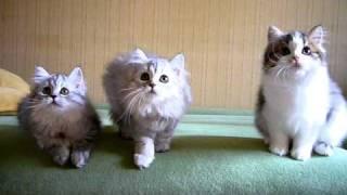 Шотландские котята (Хайленд Страйты)