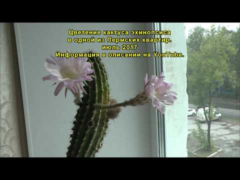 Кактус Эхинопсис, цветение.