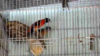 Carduelis cucullata (Cardenalito de Venezuela)