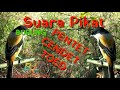 Suara Pikat Burung Pentet Cendet Toed Ampuh  Mp3 - Mp4 Download