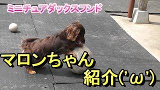 【ミニチュアダックス】ドッグハウスのマロンちゃん紹介(*´▽`*)