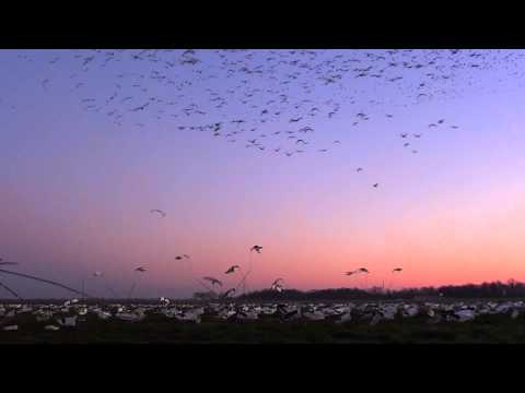 Snow Goose Hunting Eaglehead Outdoors-