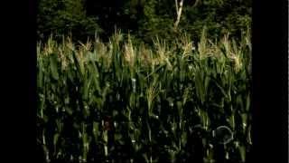 Produtividade do milho tem aumento de 700 para 2.400 quilos por hectare