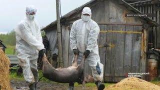 У Держпродспоживслужбі моніторять ситуацію з поширенням африканської чуми свиней