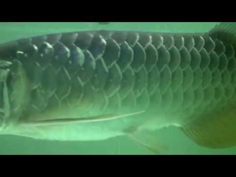 dragon fish malaysia for sale 323-756-1367 - Asian arowana