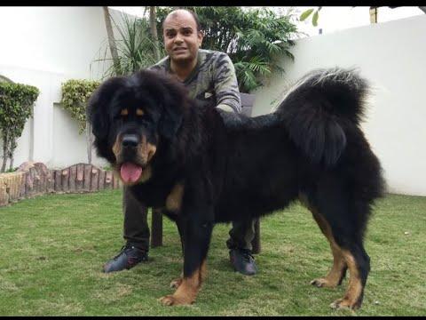 Tibetan Mastiff the Giant Dog. by Baadal Bhandaari 9878474748