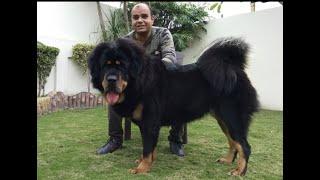 Tibetan Mastiff the Giant Dog. | By Baadal Bhandaari | 9878474748