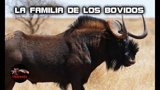 El toro mas salvaje del mundo – BOVIDOS SALVAJES: Toros salvajes – Gacelas gigantes – Bufalo salvaje