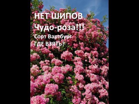 Уникальная плетистая роза БЕЗ ШИПОВ!!! Сорт Вартбург Где купить