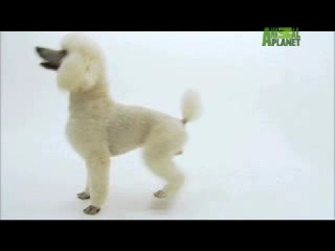 Dogs 101 - Poodle Travel Video