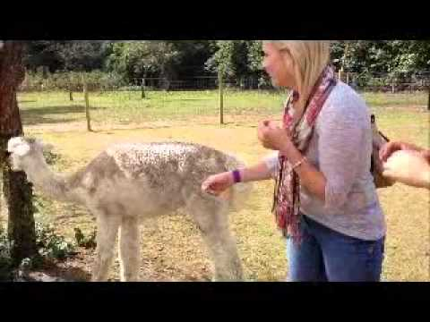 Why lick a pig when you can lick an alpaca?