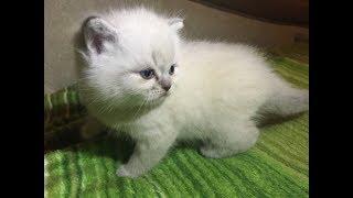 Cat Pet plaing   Котик играется