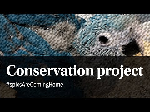 The Spix's Macaw conservation project