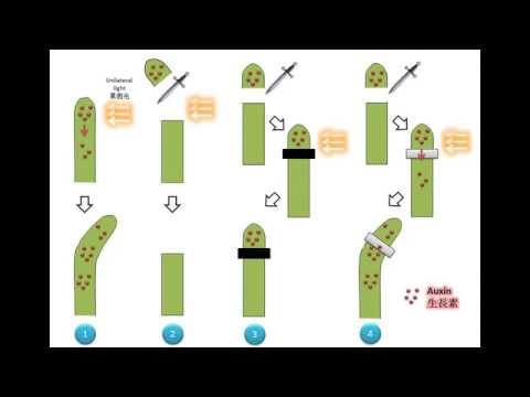 DSE Bio 1 Tropism And Auxin 1 The Discovery Of Auxin