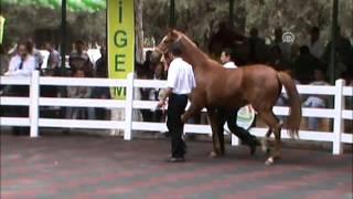 Yarış atlarına yüzbinlerce lira harcadılar