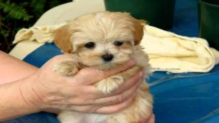 This is Cindy   Cindy is a Maltese/Shih Tzu cross dogs that stay small forever