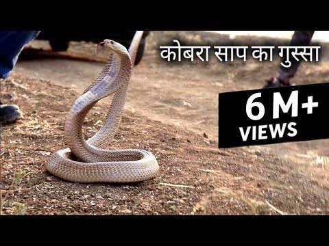 рджреЗрдЦрд┐рдпреЗ рдХрд┐рддрдирд╛ рдЧреБрд╕реНрд╕реЗ рд╡рд╛рд▓рд╛ рд╣реИ рдпреЗ рдХреЛрдмрд░рд╛ рд╕рд╛рдк   Rescue cobra snake from Ahmednagar, maharashtra
