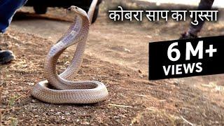 देखिये कितना गुस्से वाला है ये कोबरा साप | Rescue cobra snake from Ahmednagar, maharashtra