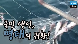 국민 생선, 명태의 귀환! / YTN 사이언스