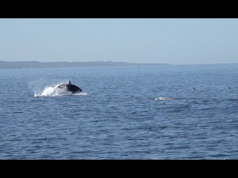 Orcas (Killer Whales) Hunting Long-beaked Common Dolphins, Monterey Bay 9/16/15