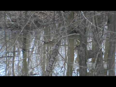 Yazoo County, Mississippi, Big Black River Swamp Buck