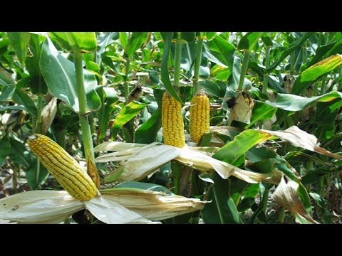 China returns More than half million Tons USA-imported Maize corn due to genetically-modified strain