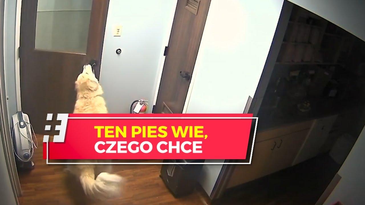 Ten pies wie, czego chce. Żadne drzwi go nie powstrzymają