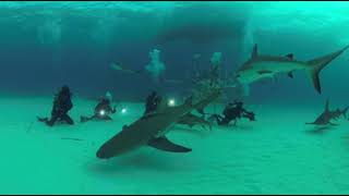 GoPro fusion VR 360 tiger sharks and hammerhead