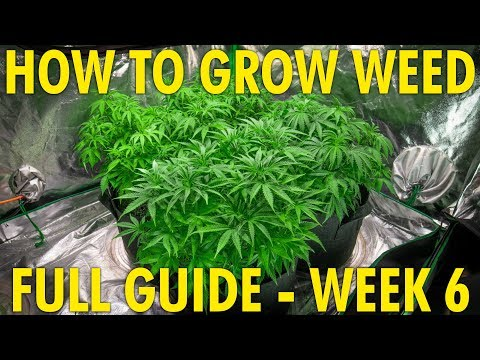 Finding The Perfect Height For My Grow Lights - Cannabis Grow Guide Week 6