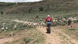 Surprised by Great Pyrenees Sheep Dogs while Mountain Biking in Heber, UT
