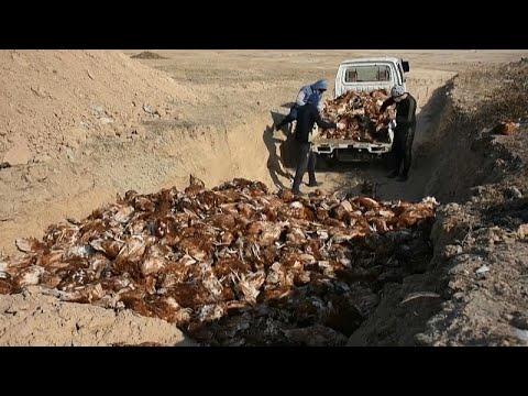 نفوق عشرات الآلاف من الدواجن جراء تفشي إنفلونزا الطيور في العراق…