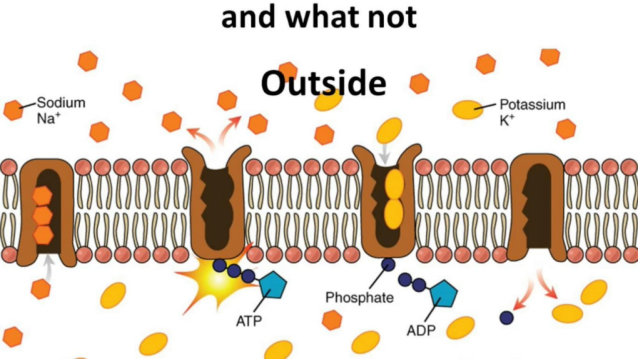 Osmosis In A Cell Membrane