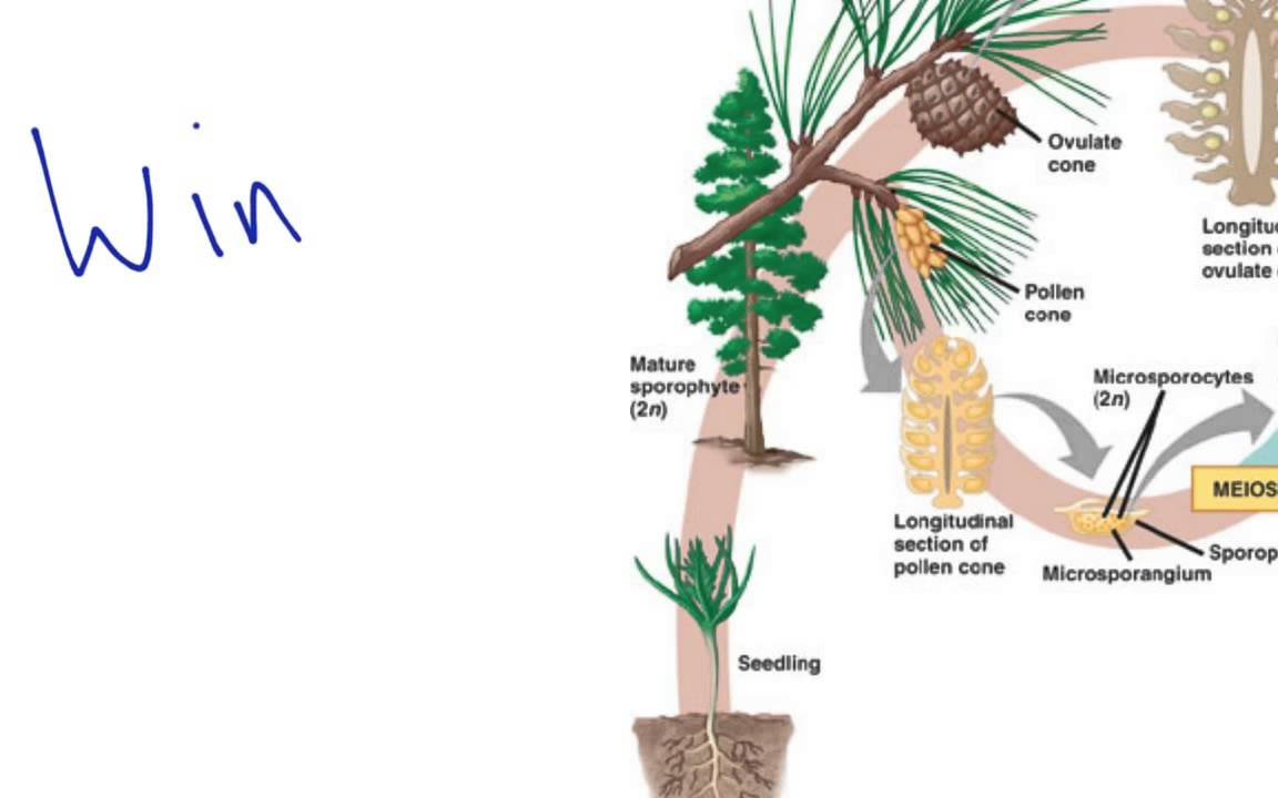 gymnosperms essay This quiz is about angiosperms and gymnosperms it tests you on how well you know your information knowing these questions will help you on the upcoming test.