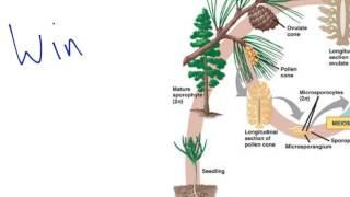 Gymnosperm Reproduction